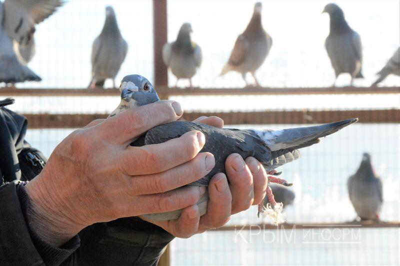Голубятня «пять звезд». Куда и зачем летают крымские голуби